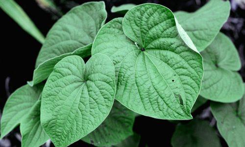 kava kava plant